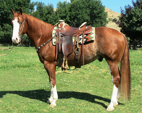 2012 Wild-Marked Bright Sorrel AQHA Gelding, 15 Hands 1175 lbs.