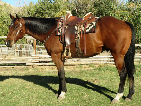 SOLD 2009 Big & Tall Bay Ranch Horse Deluxe, 15.3 hands 1275 lbs.