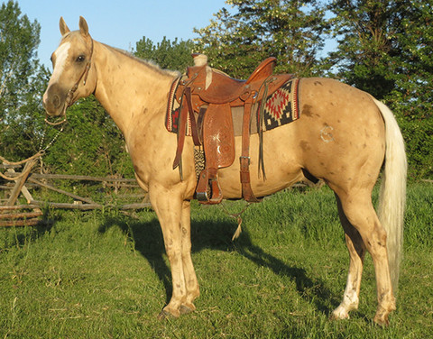 SOLD 2011 Chocolate Chip-Marked Palomino AQHA Gelding, 14.3 Hands.