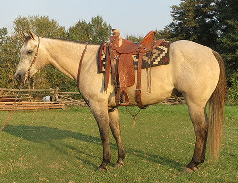 "SOLD 2010 ""Lobo"" Rose Grey Dun AQHA Gelding, 15.1 Hands, 1150 lbs."