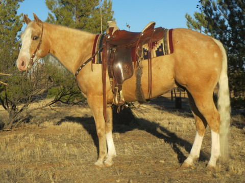 SOLD 2011 Chrome on All Four! Handsome Palomino APHA Gelding, 14.3½ Hands, 1100 lbs.