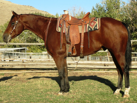 SOLD 2007 Pretty Bay All-around Cow-Rope Trail horse, AQHA Gelding 15.1 hands  1200 lbs.