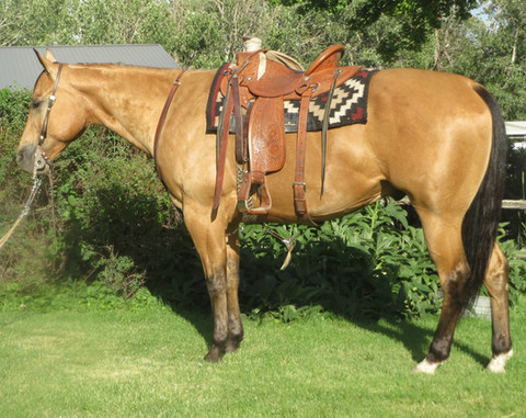 SOLD 2009 Ranch Horse Deluxe Golden Buckskin AQHA Gelding, 15.2 Hands, 1200 Lbs.