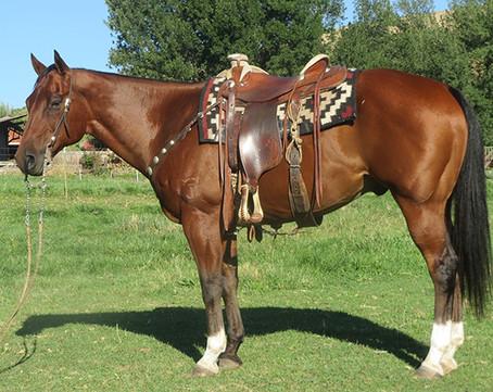 SOLD 2006 Big Stout Handsome Bay AQHA Gelding, 15.2 Hands, 1300 lbs.