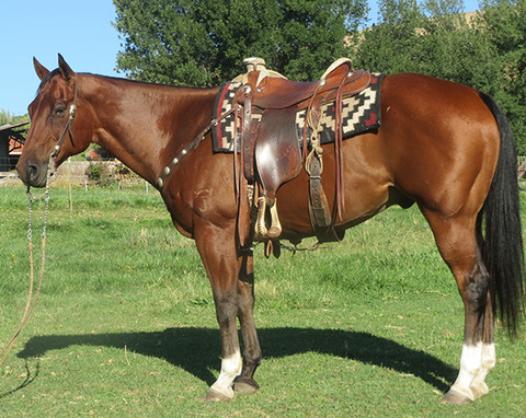 SOLD 2006 Big Stout Handsome Bay AQHA Gelding, 15.2 Hands, 1300 lbs.