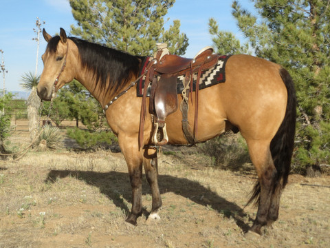 SOLD 2009 Big Gold Buckskin Ranch Horse Deluxe, 15.2 Hands, 1250 lbs.