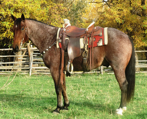 "SOLD 2010 Bay Roan ""Big-Little Package"", 14.2 Hands, 1100 lbs."