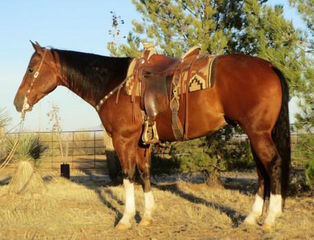 SOLD 2009 First-Class Cowboy's Dream Bay AQHA/APHA Gelding, 15.1½ Hands, 1200 lbs.