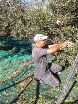 Nicos harvesting the olives