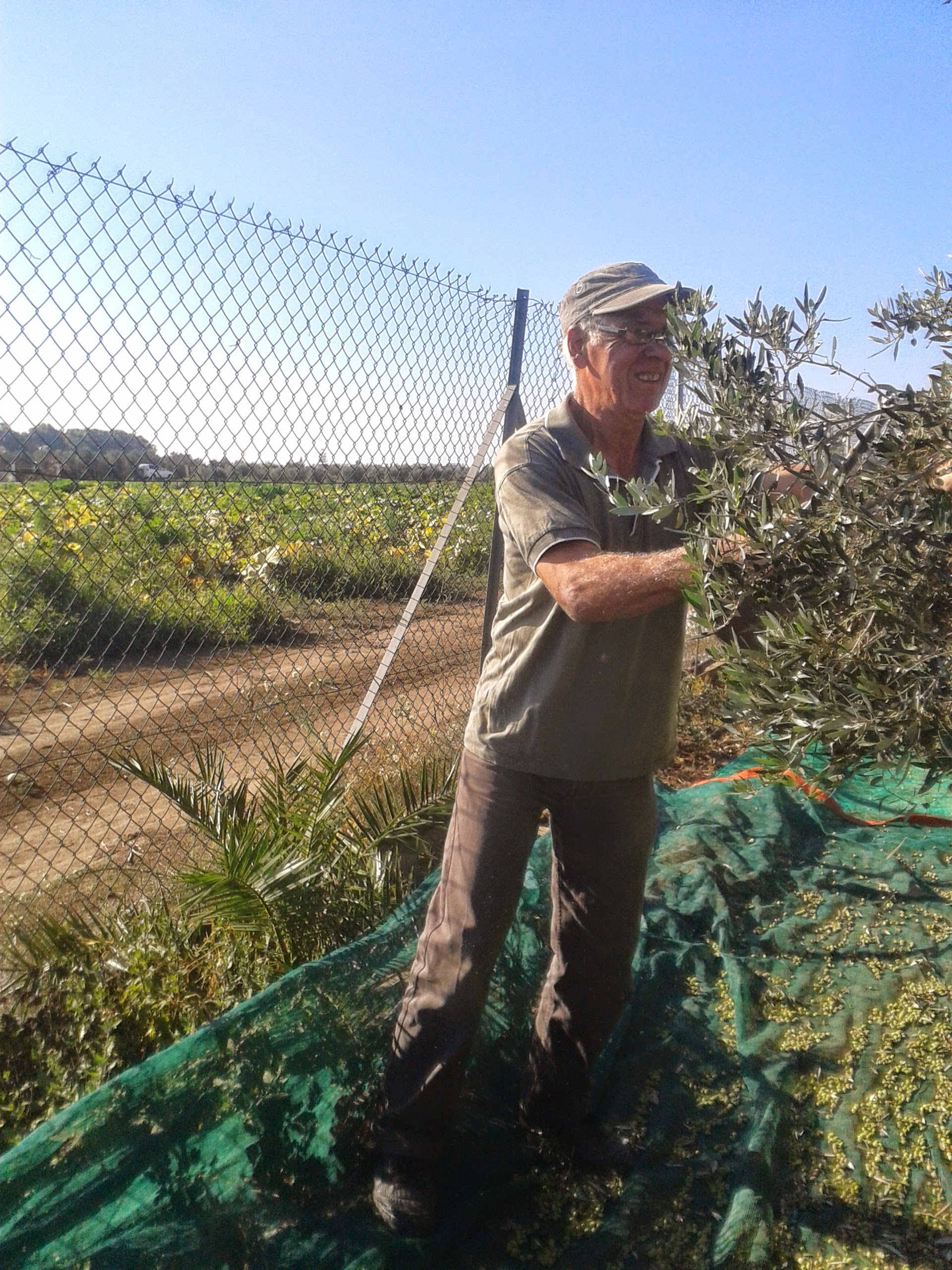 Takis harvesting the olives