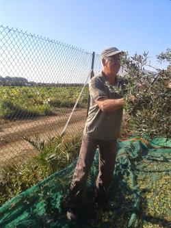 Takis harvesting the olives