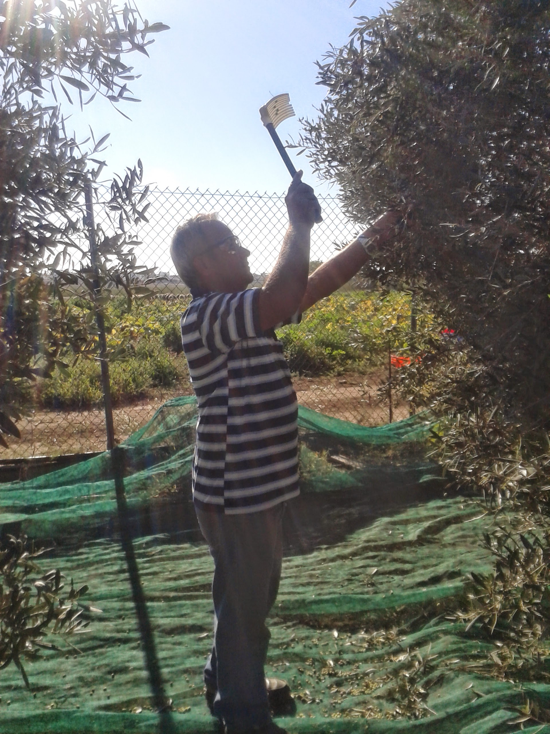 Costa harvesting the olives