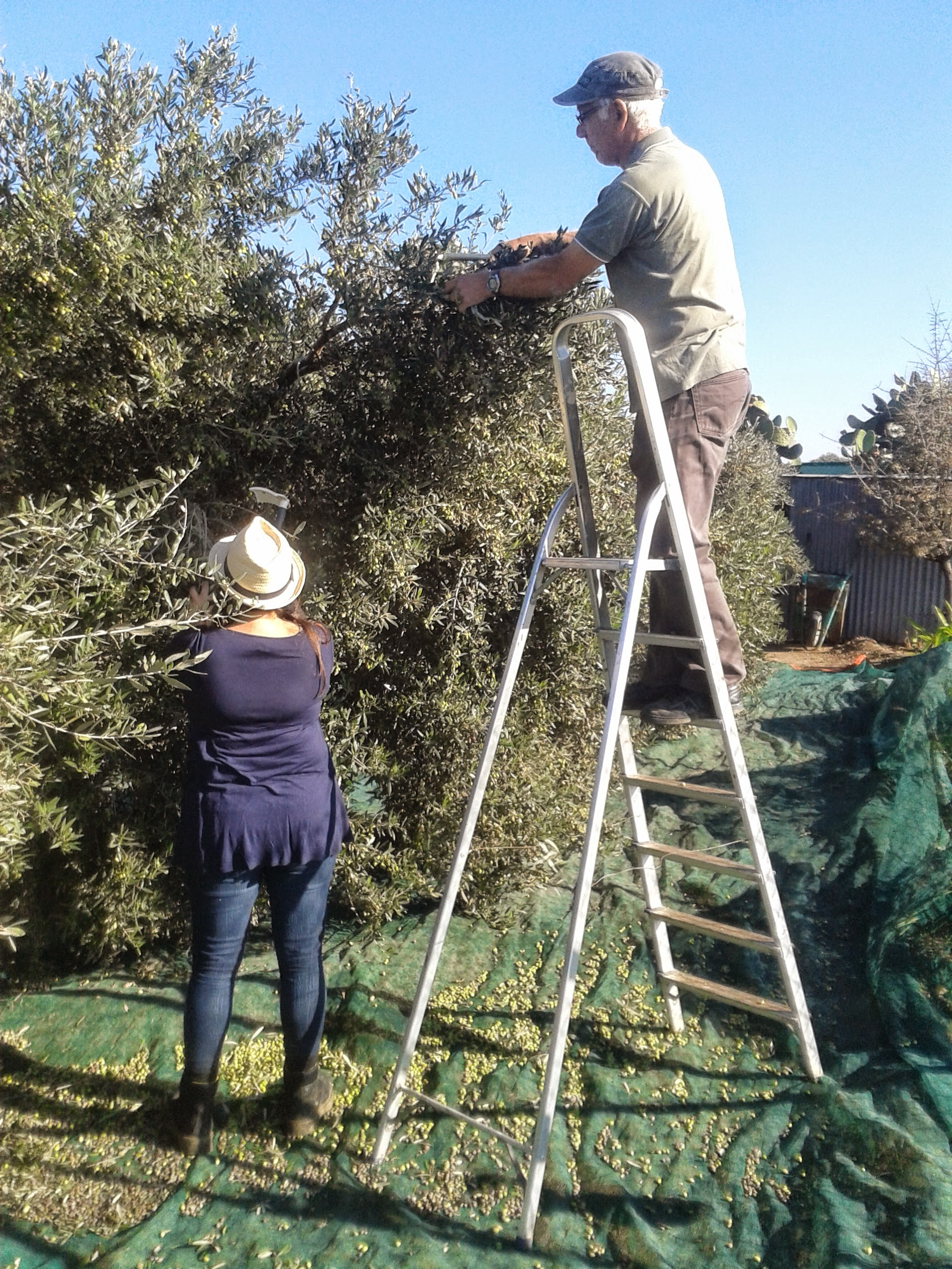 Pam & Takis harvesting the olives