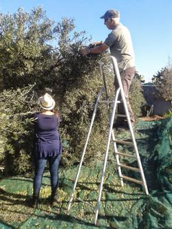 Pam & Takis harvesting the olives