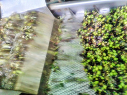 Olives go through the washer