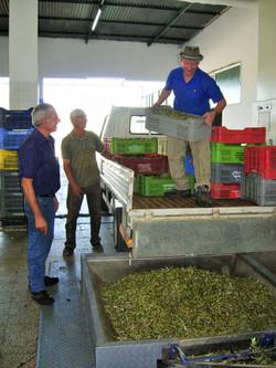Loading the olives