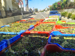 Thousands of fresh olives