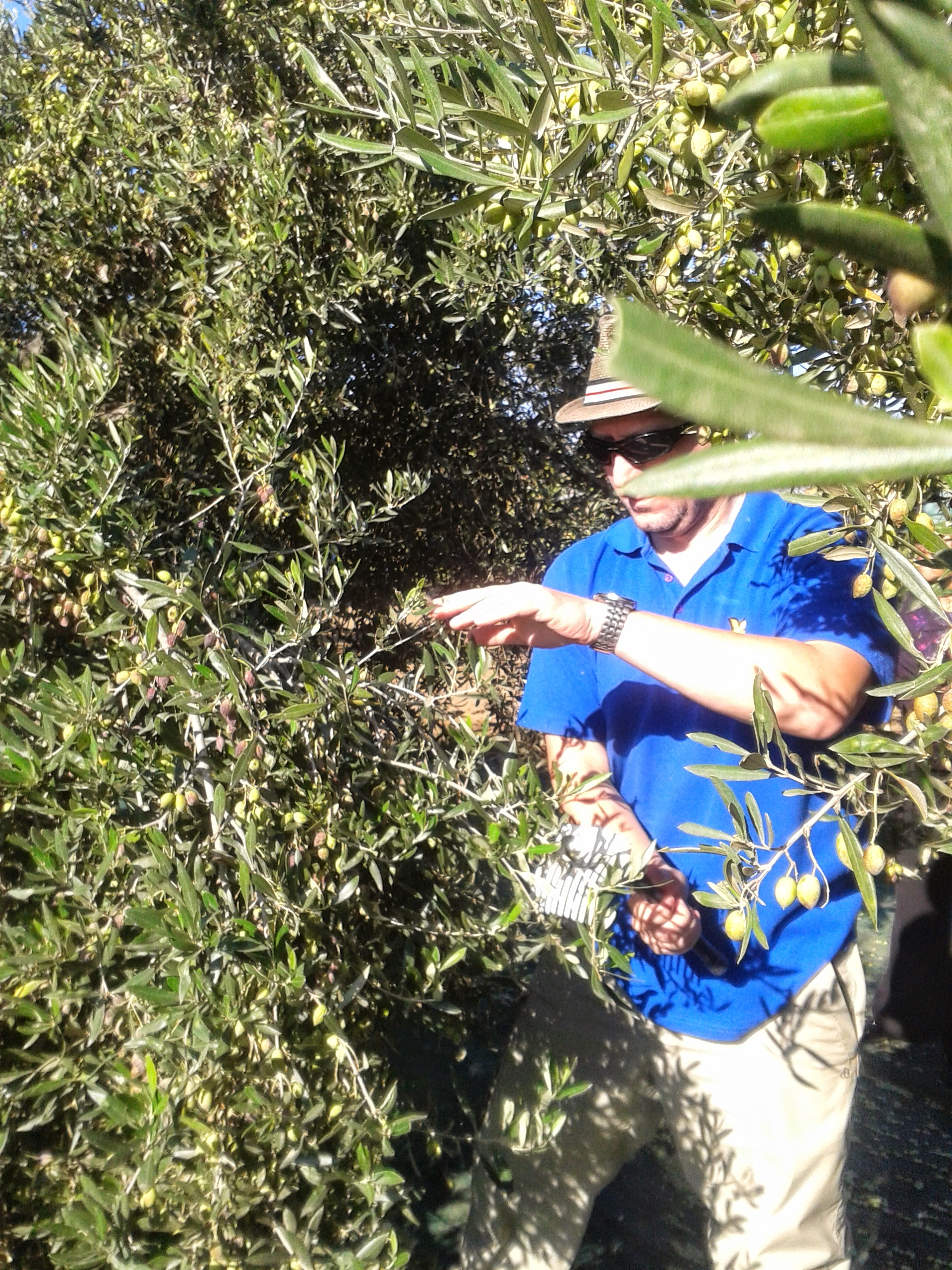 Rob harvesting the olives