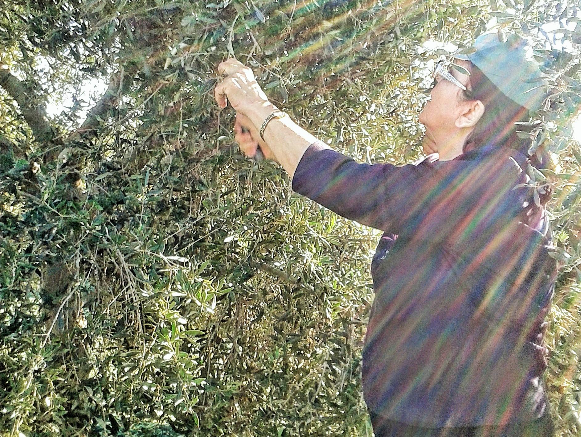 Chloe harvesting the olives