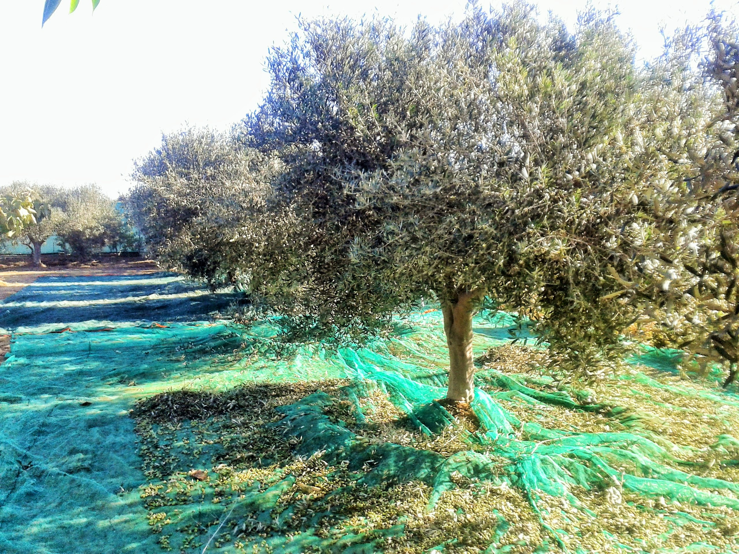 Giant nets ready to catch the olives