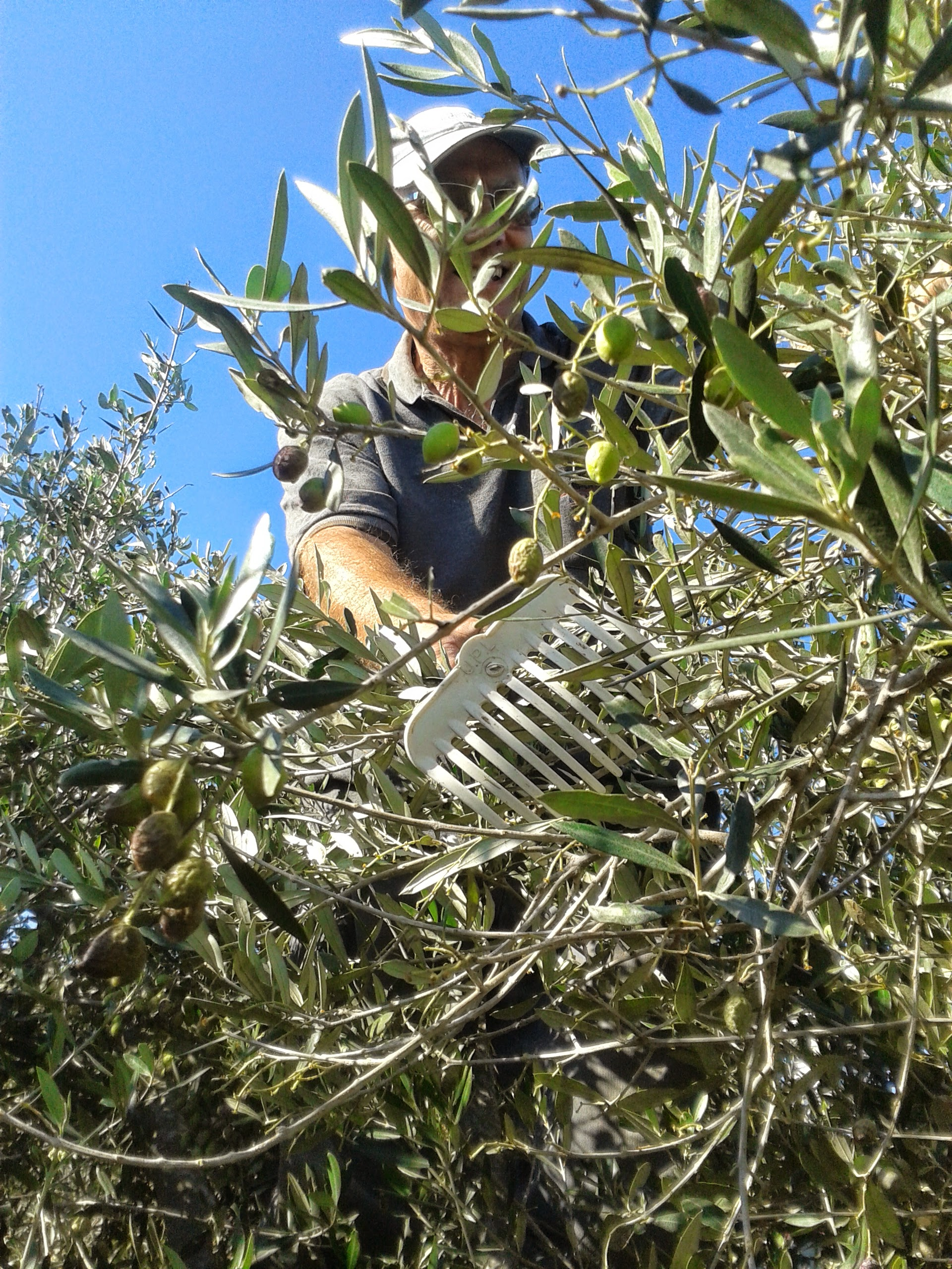 Harvesting olives with olive combs