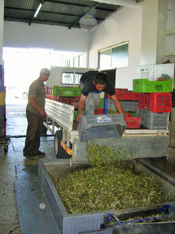 The olives arrive at the olive mill