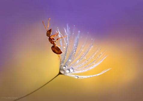 Ant crawling on a dandelion