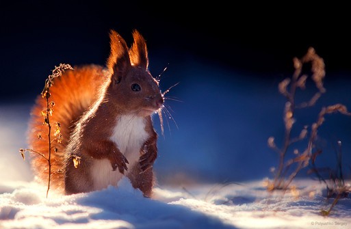 Red squirrel standing in winter sunlight