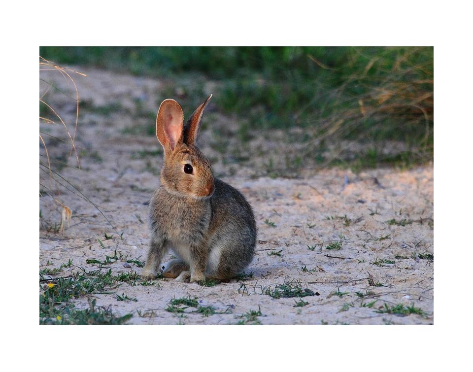 conejo1-pre
