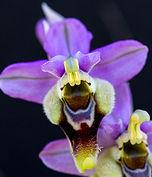 Ophrys tenthredinifera ficalhaona