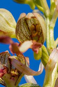 Himanthoglossum hircinum (Ain Roua)