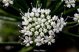 Flore de Sétif