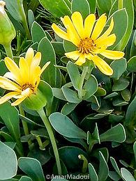 Hertia cherilfolia