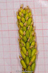 Neotinea maculata