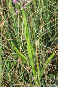 Dactylorhiza elata Agmoune