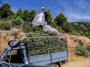Romarin Algérie