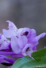 Androrchis pauciflora subsp. laeta