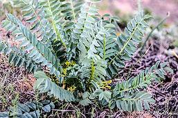 Astragalus caprinus