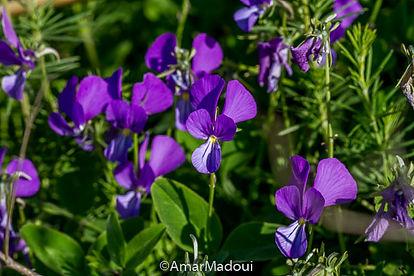 Viola munbyana