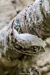 Certhia brachydactyla (Grimpereau des jardins)