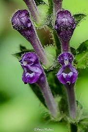 Scutellaria columnae