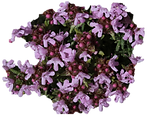 thymus.png