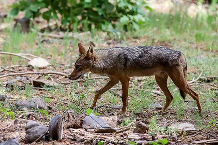 Canis anthus Loup d'oré