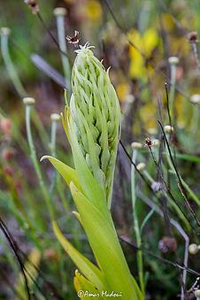 Himanthoglossum hircinum