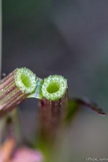 Dactylorhiza elata Tababort