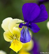 Viola munbyana Kabylie