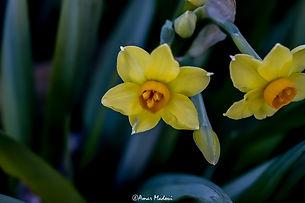 Narcissus tazetta - Flore de Sétif.