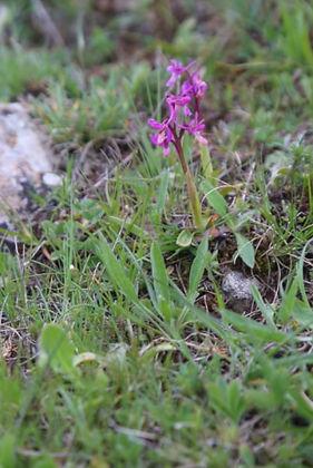 Orchis olbiensis Sétif