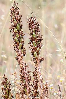 Himantoglossum robertianum Ras el Oued