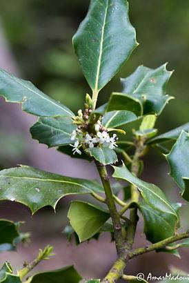 Ilex aquifolium Babor